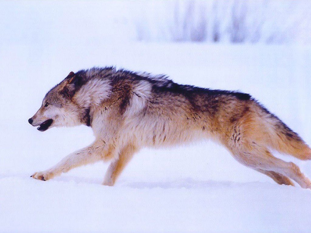 How a Wolf Communicates through its Tail and Body Posture